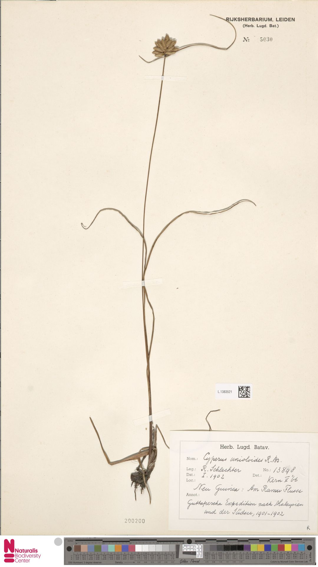 L.1383521 | Cyperus unioloides R.Br.