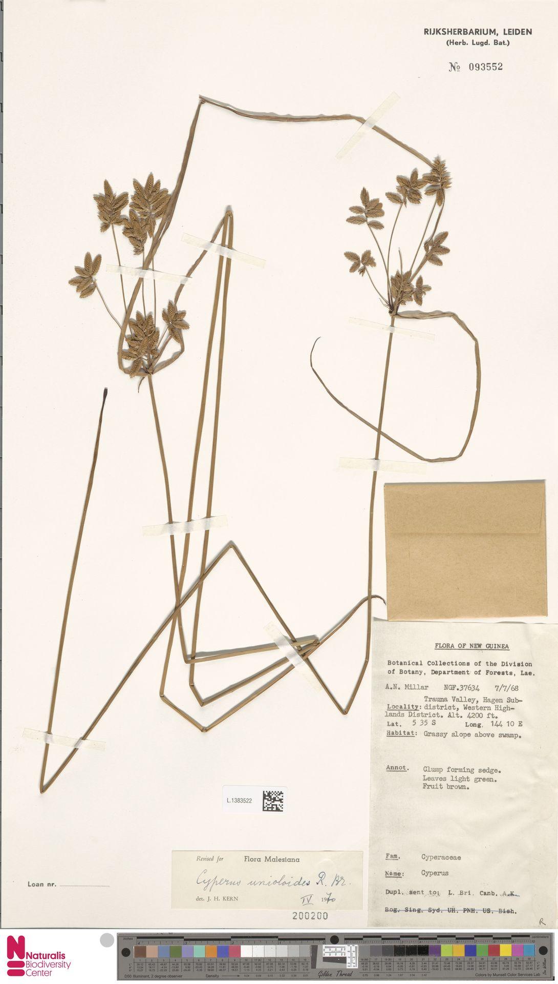 L.1383522 | Cyperus unioloides R.Br.