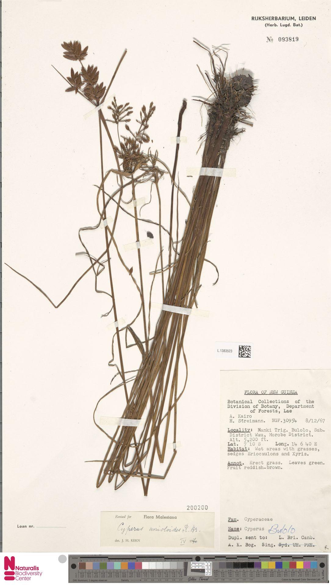 L.1383523 | Cyperus unioloides R.Br.