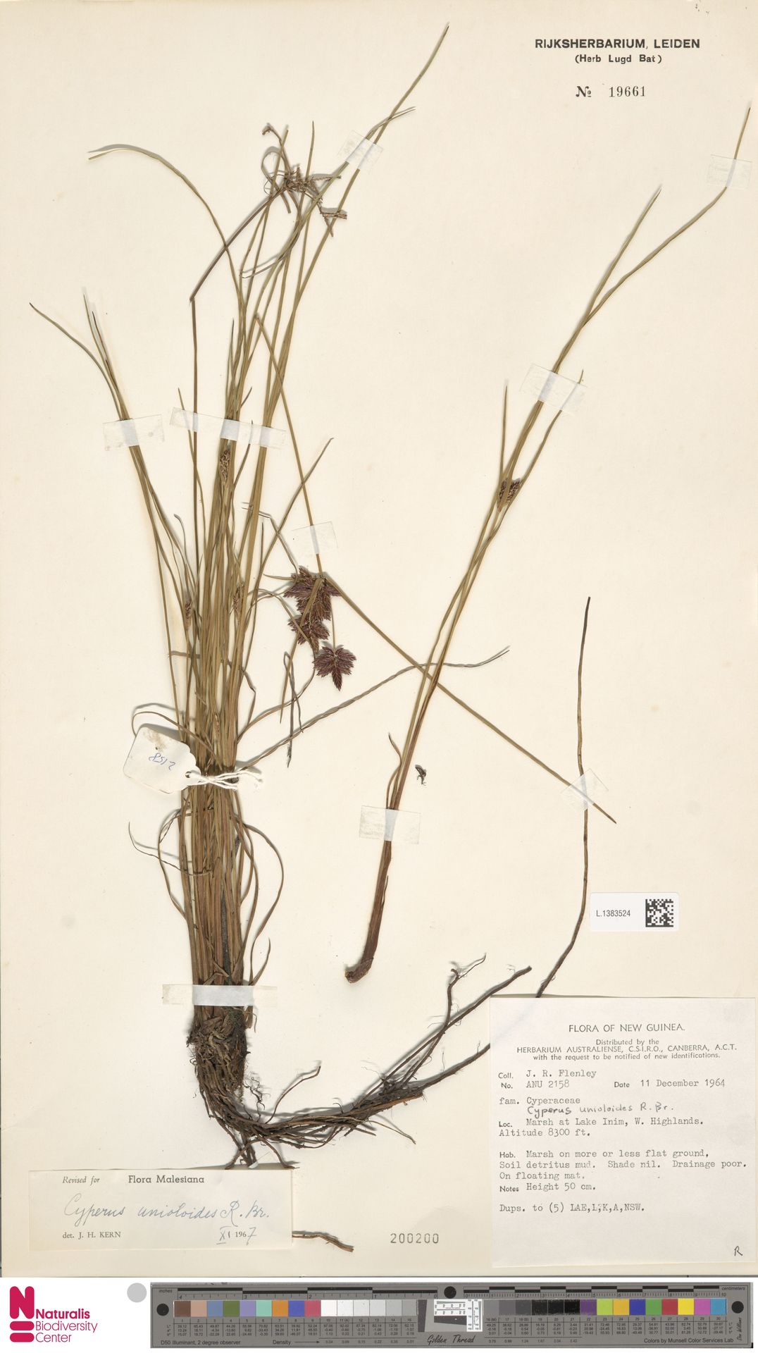 L.1383524 | Cyperus unioloides R.Br.
