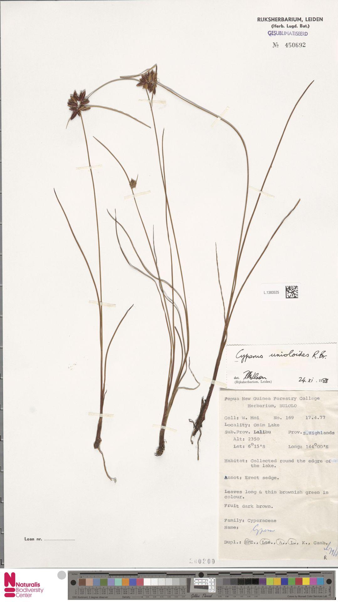 L.1383525 | Cyperus unioloides R.Br.