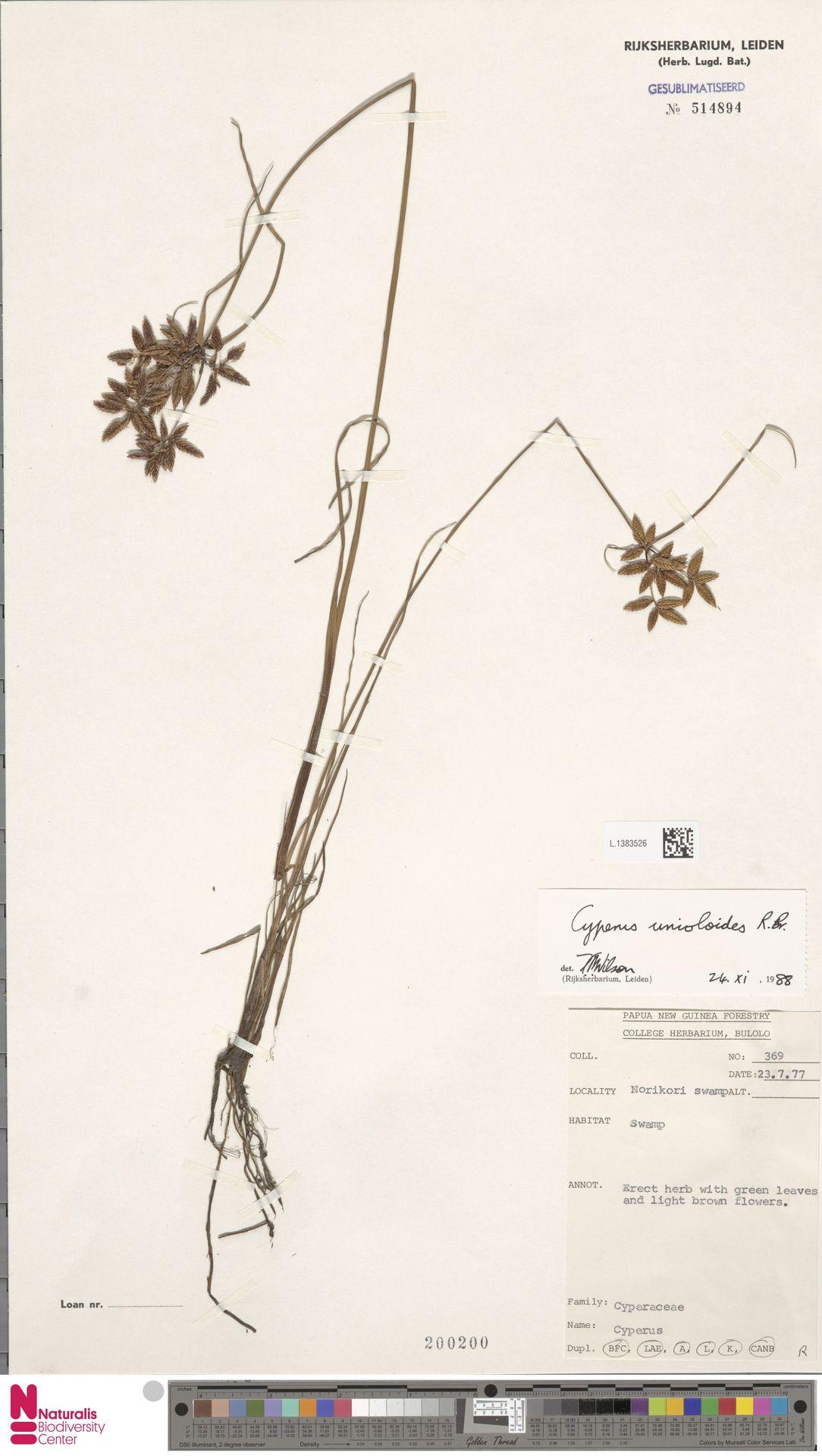 L.1383526 | Cyperus unioloides R.Br.