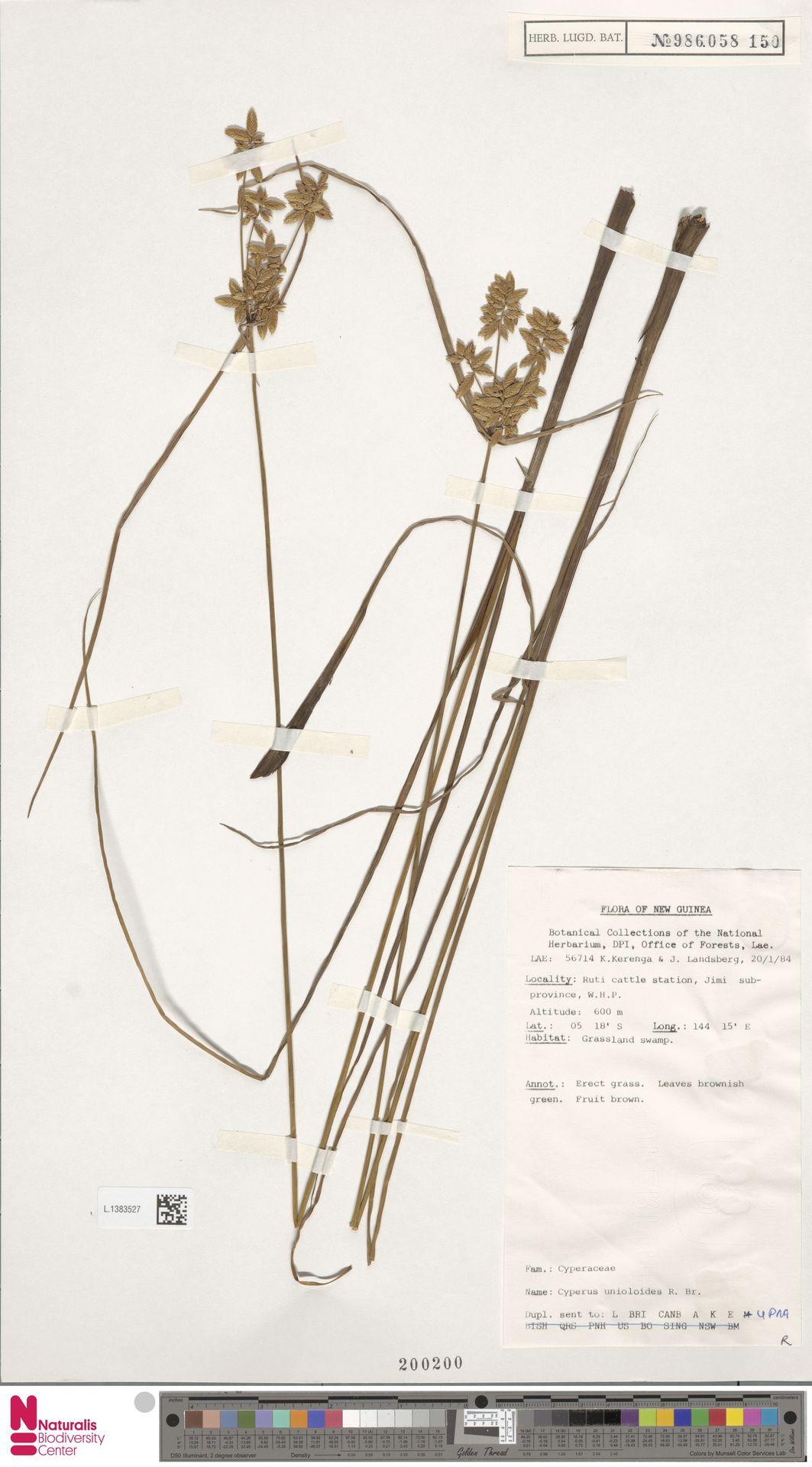 L.1383527 | Cyperus unioloides R.Br.