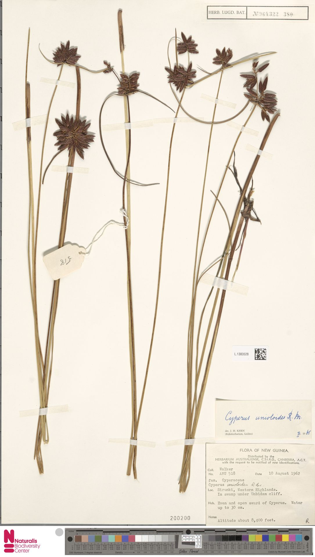 L.1383528 | Cyperus unioloides R.Br.
