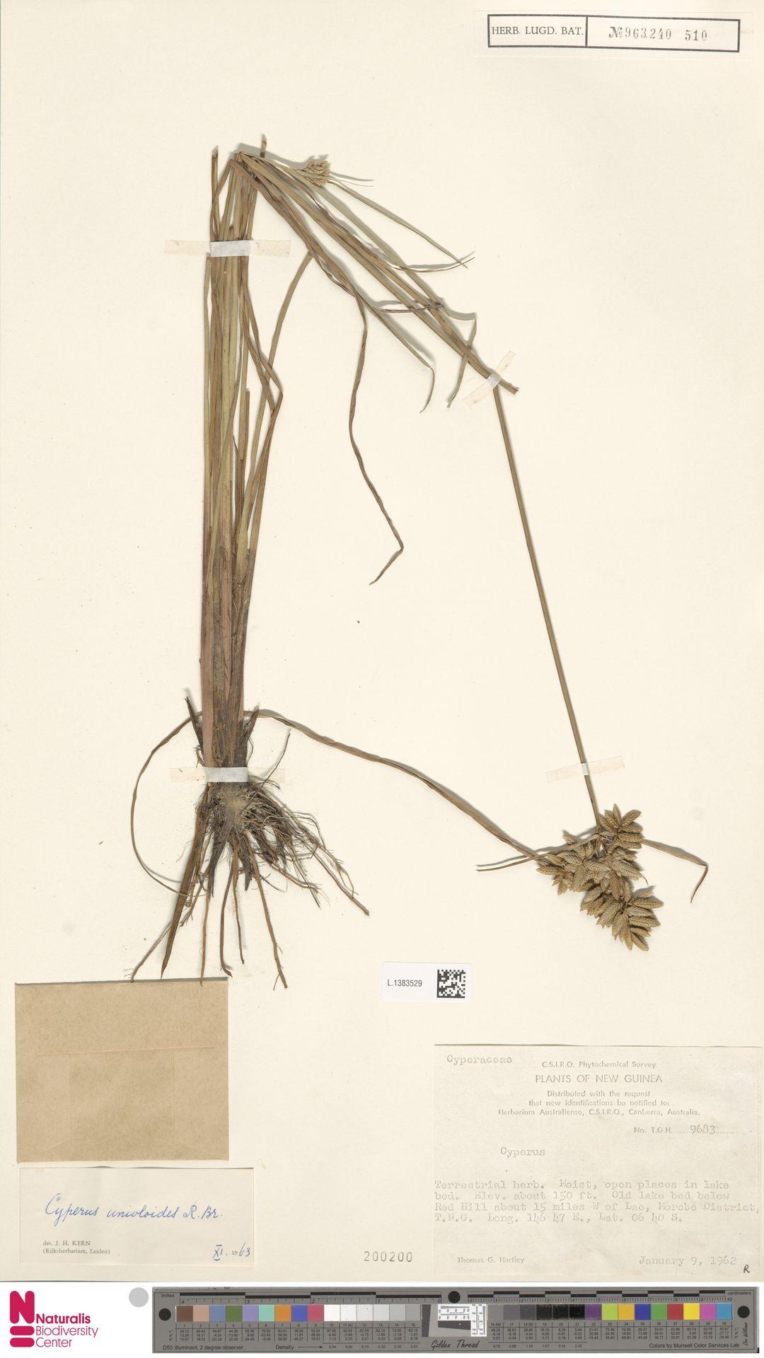 L.1383529 | Cyperus unioloides R.Br.