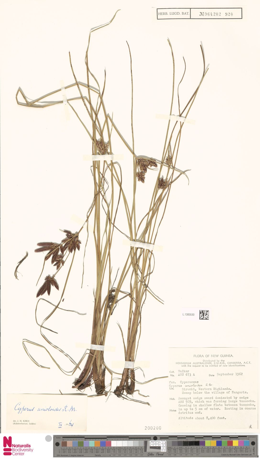 L.1383530 | Cyperus unioloides R.Br.