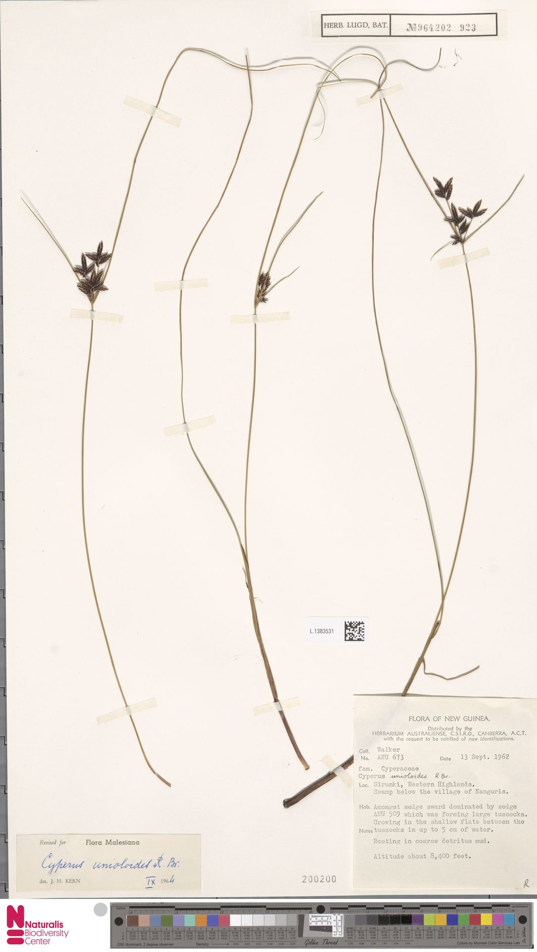 L.1383531 | Cyperus unioloides R.Br.