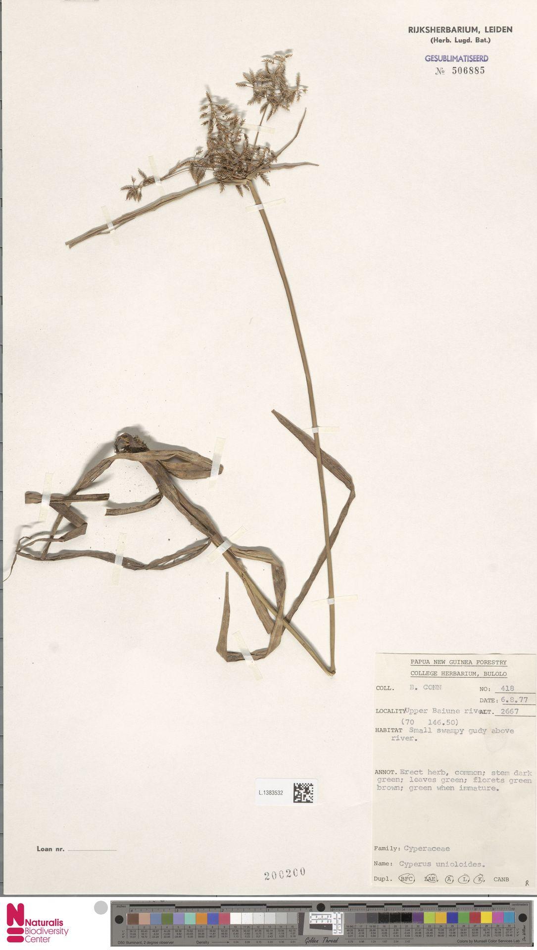 L.1383532 | Cyperus unioloides R.Br.