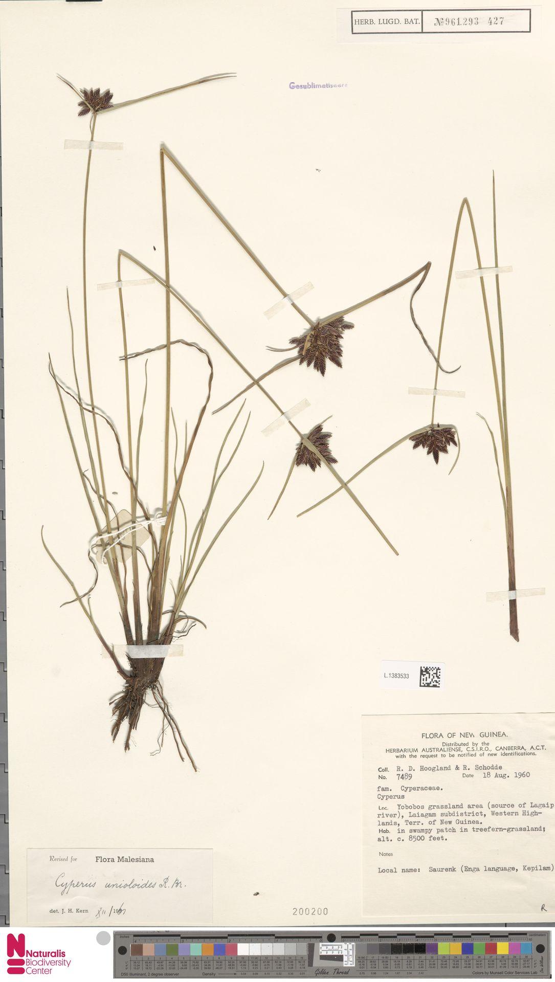 L.1383533 | Cyperus unioloides R.Br.