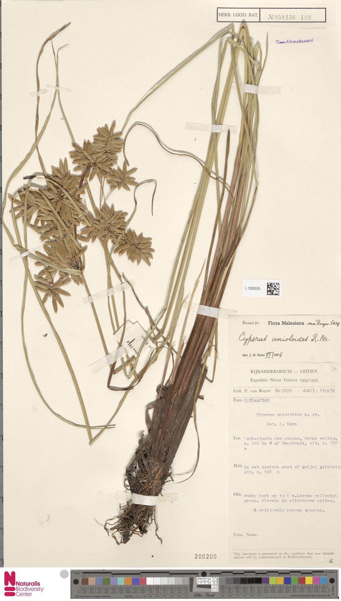 L.1383535 | Cyperus unioloides R.Br.