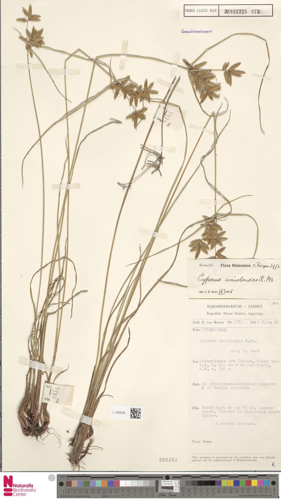 L.1383536   Cyperus unioloides R.Br.