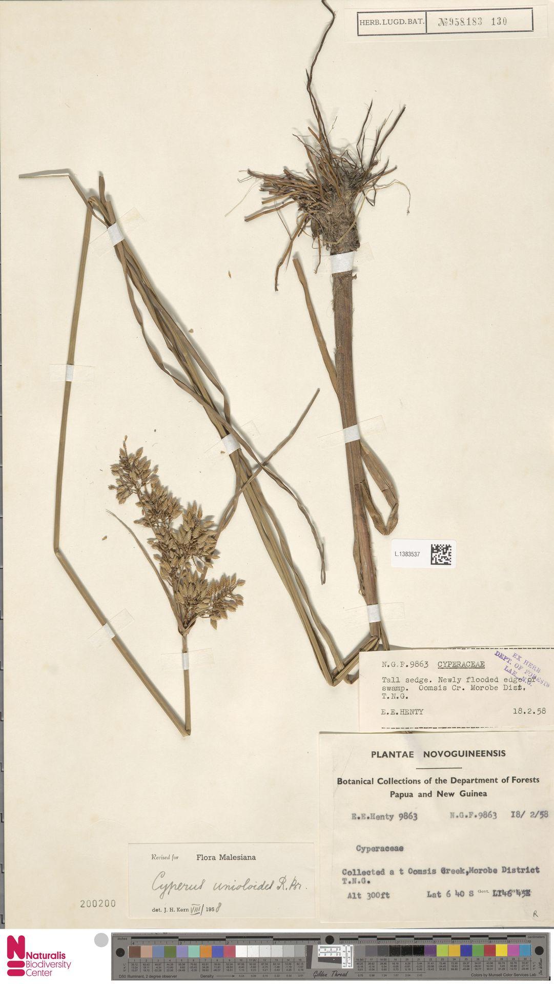 L.1383537 | Cyperus unioloides R.Br.