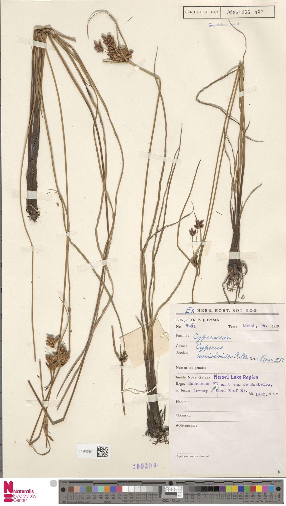 L.1383538 | Cyperus unioloides R.Br.