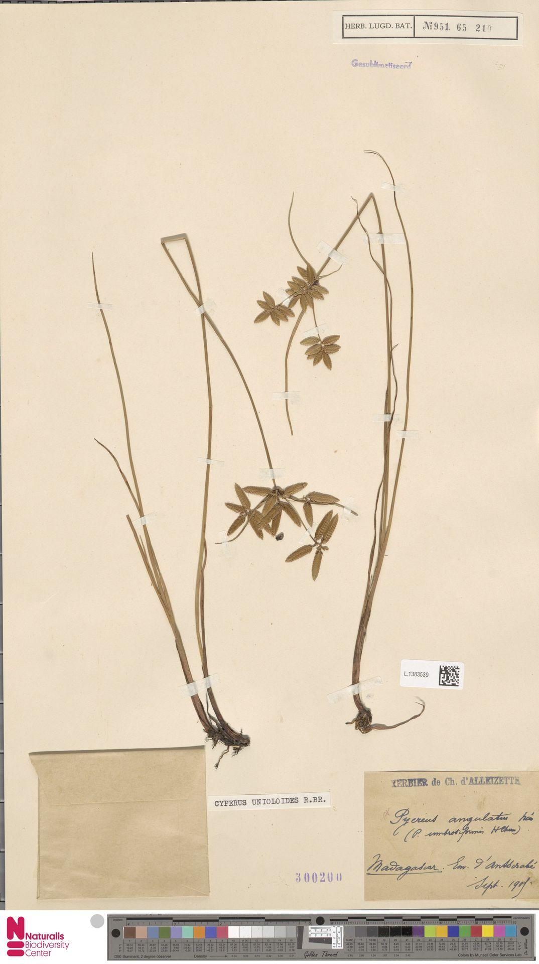 L.1383539 | Cyperus unioloides R.Br.