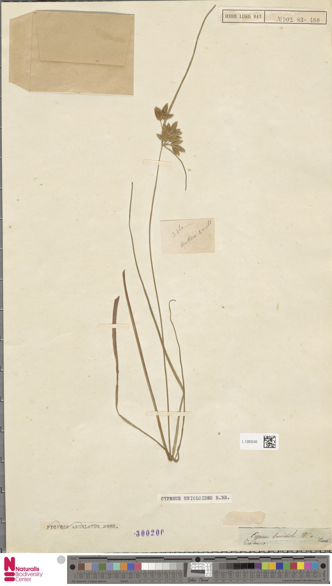 L.1383540 | Cyperus unioloides R.Br.