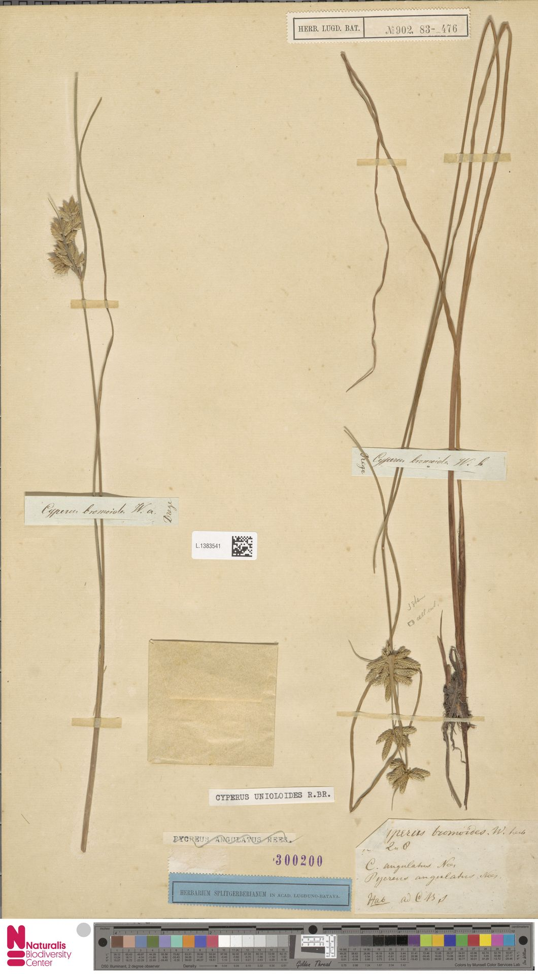 L.1383541 | Cyperus unioloides R.Br.