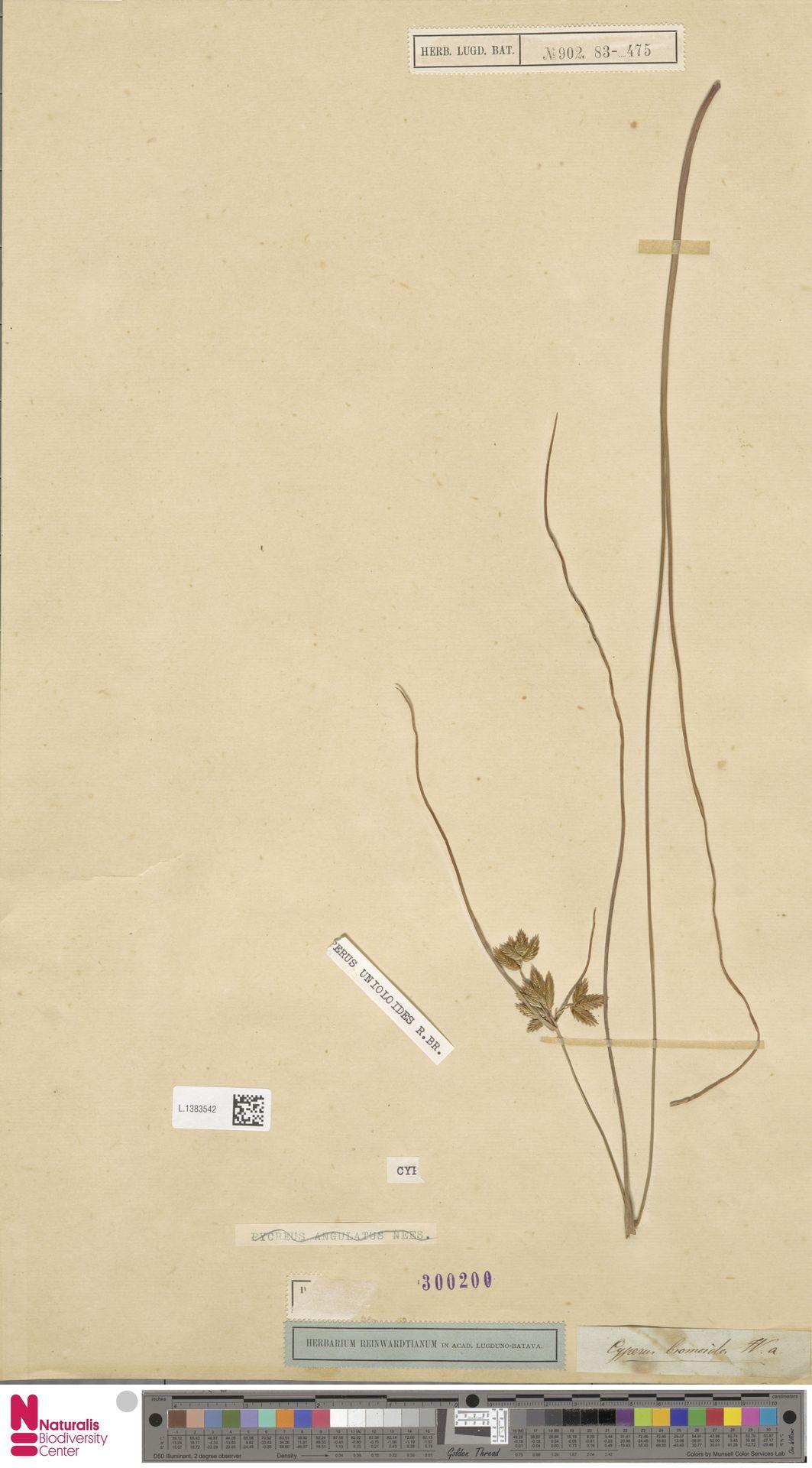 L.1383542 | Cyperus unioloides R.Br.