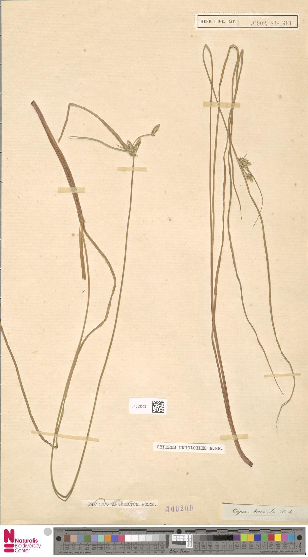 L.1383543 | Cyperus unioloides R.Br.