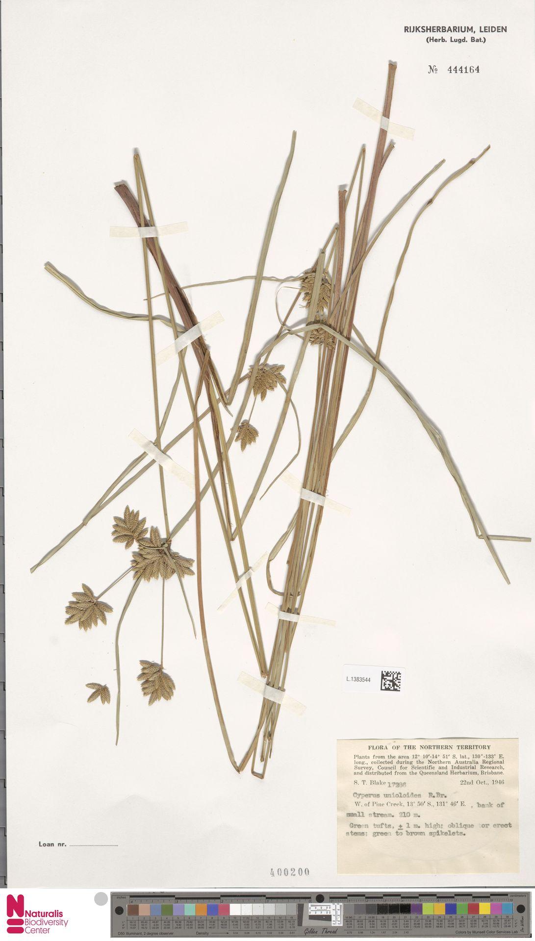 L.1383544 | Cyperus unioloides R.Br.
