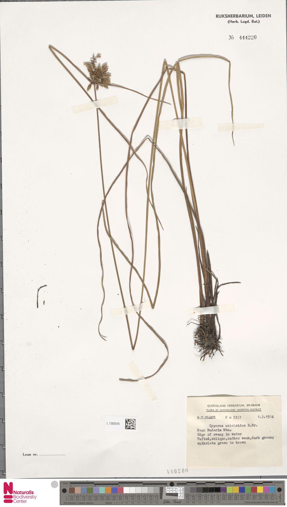 L.1383545 | Cyperus unioloides R.Br.