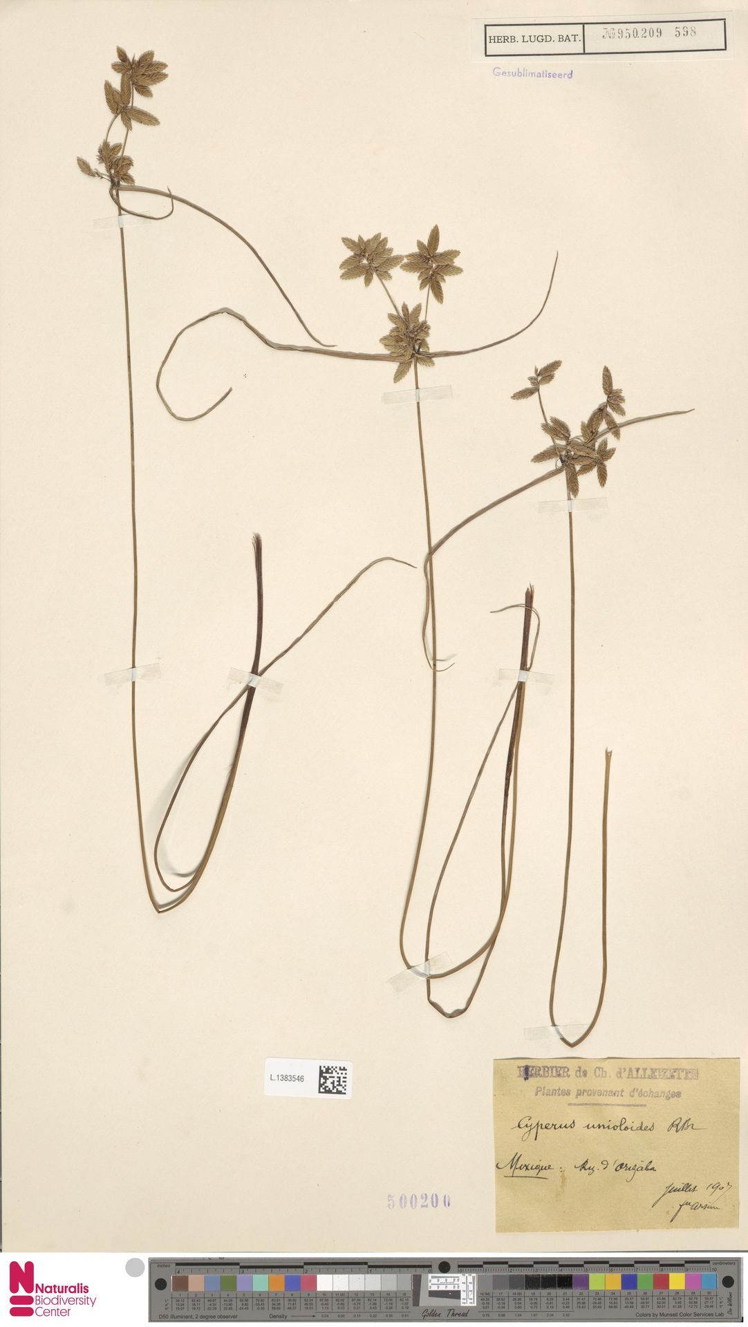 L.1383546 | Cyperus unioloides R.Br.