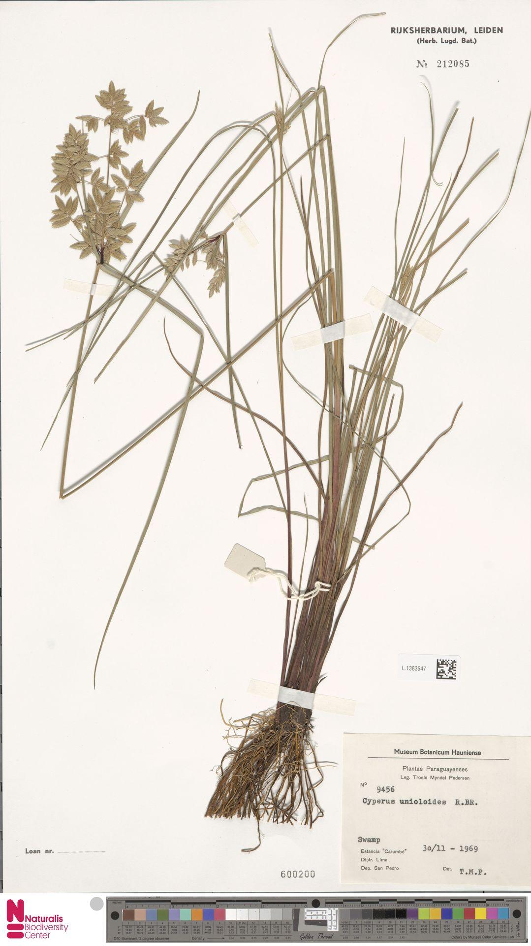L.1383547 | Cyperus unioloides R.Br.