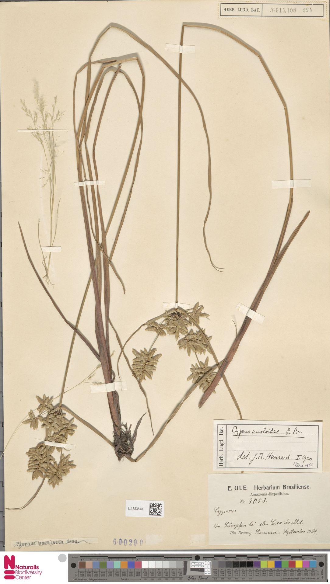 L.1383548 | Cyperus unioloides R.Br.