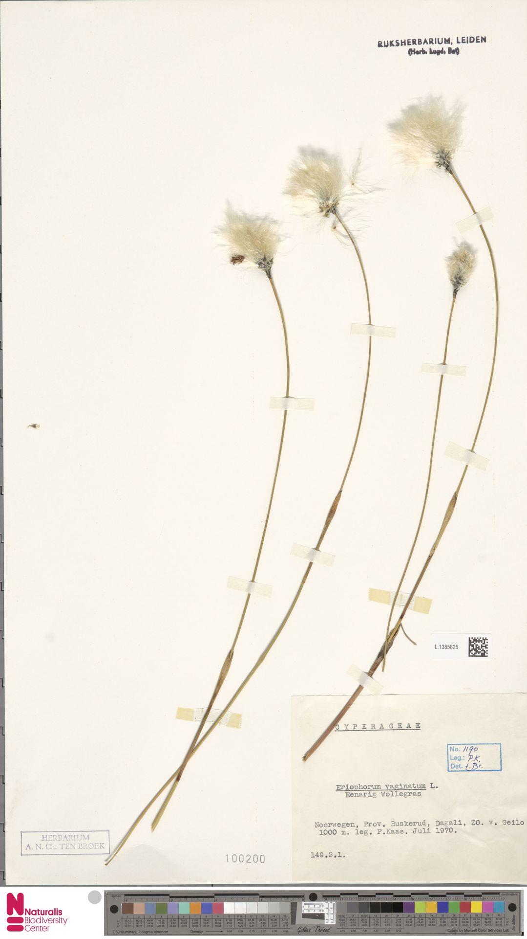L.1385825   Eriophorum vaginatum L.