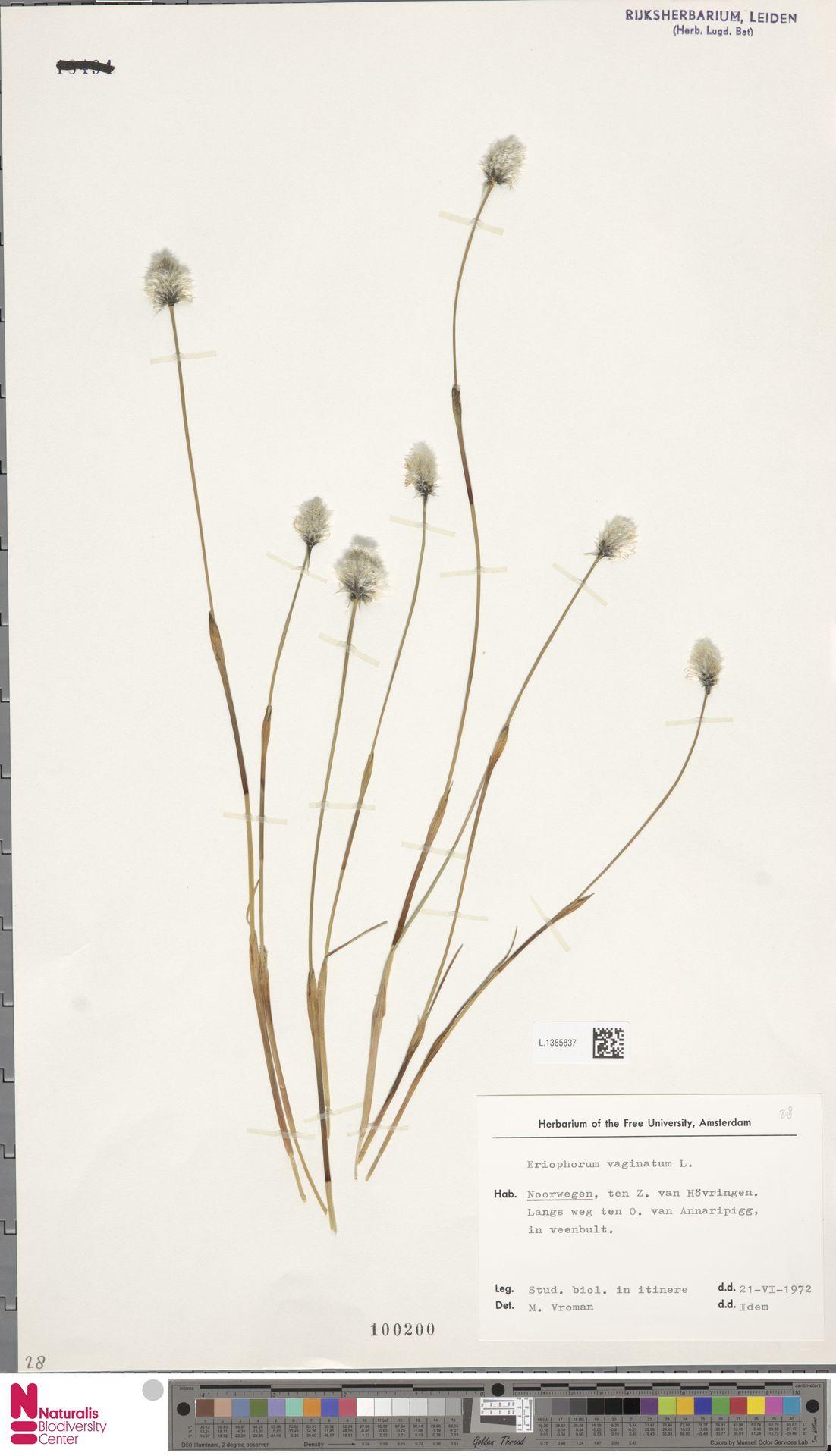 L.1385837 | Eriophorum vaginatum L.