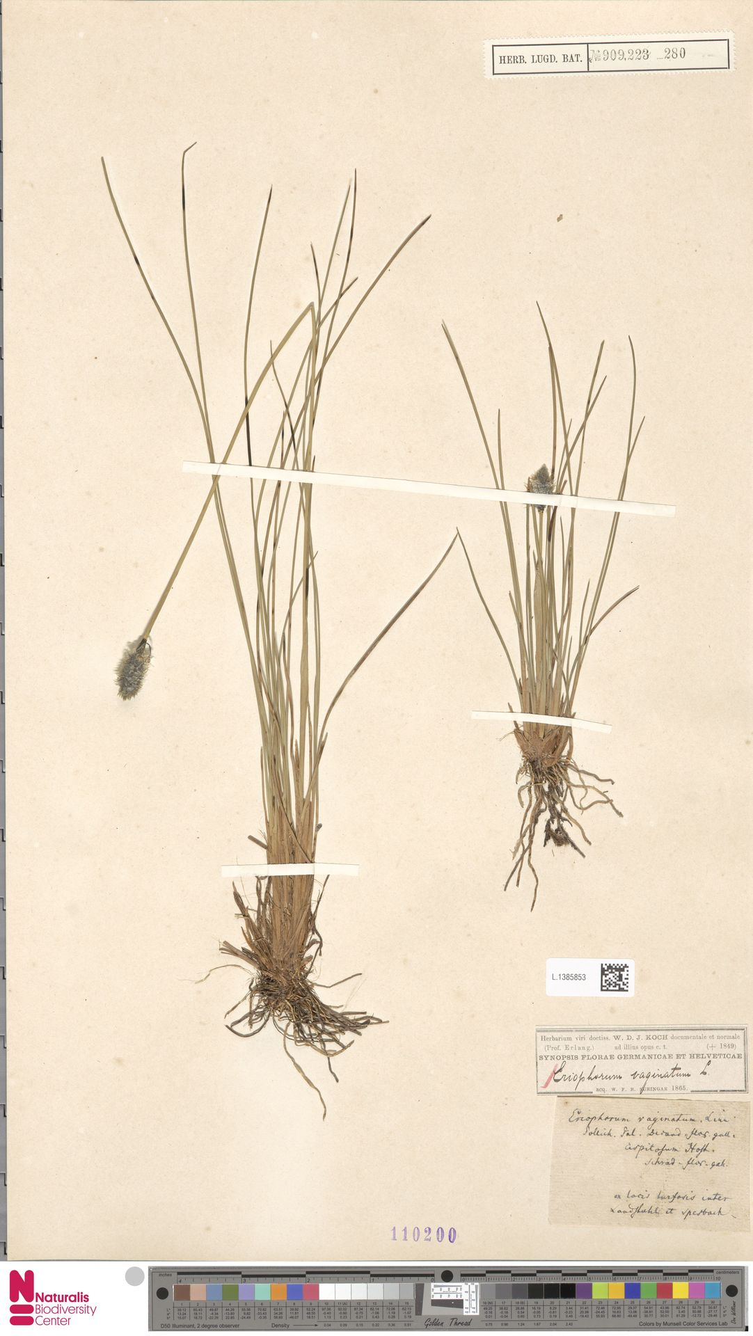 L.1385853 | Eriophorum vaginatum L.