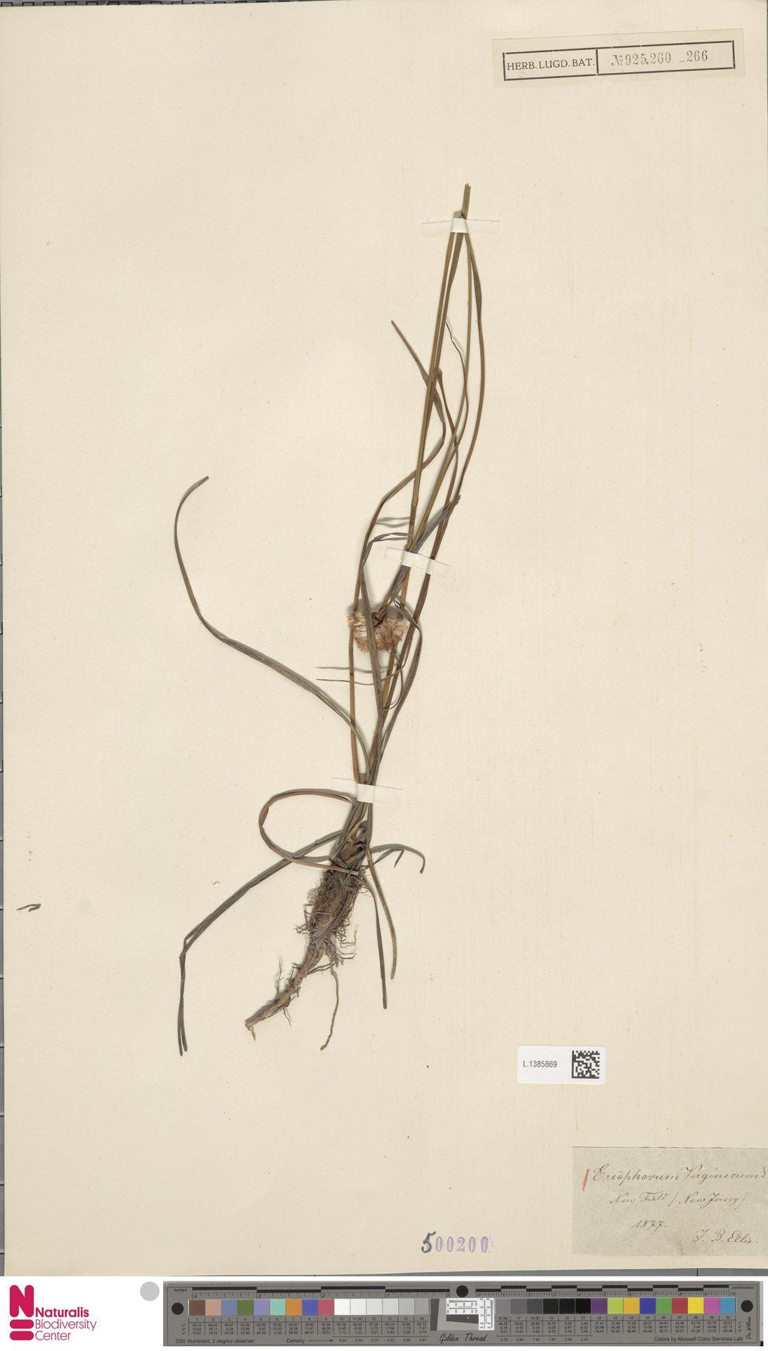 L.1385869 | Eriophorum virginicum L.