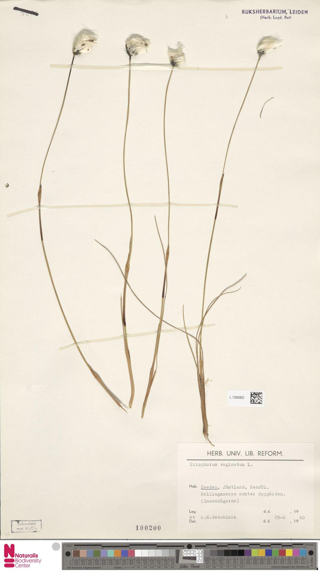 L.1385902   Eriophorum vaginatum L.