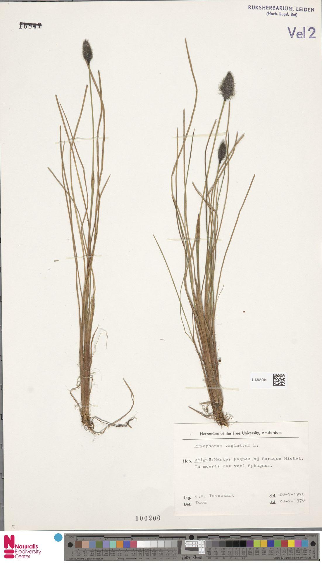 L.1385904   Eriophorum vaginatum L.