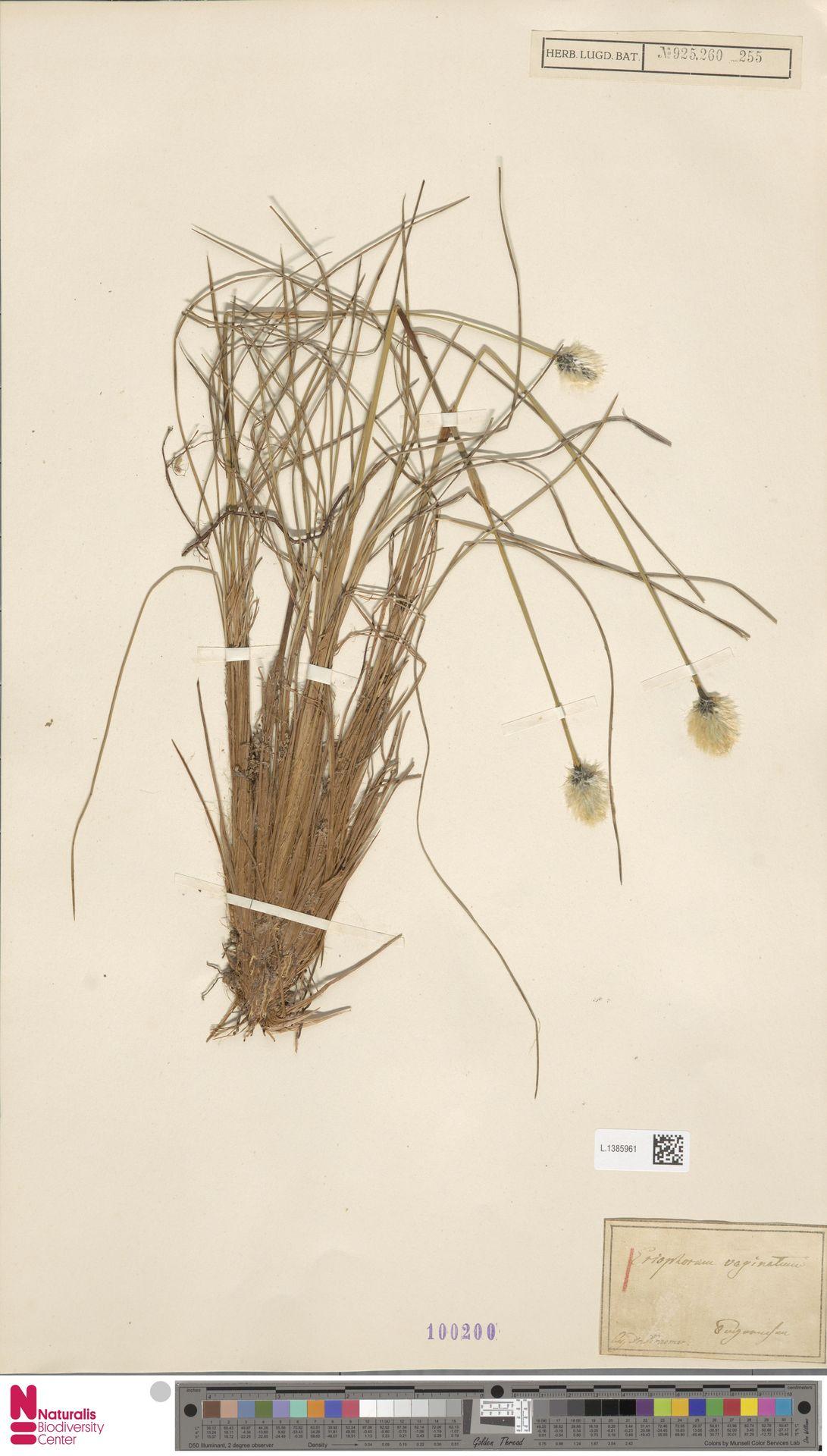 L.1385961   Eriophorum vaginatum L.