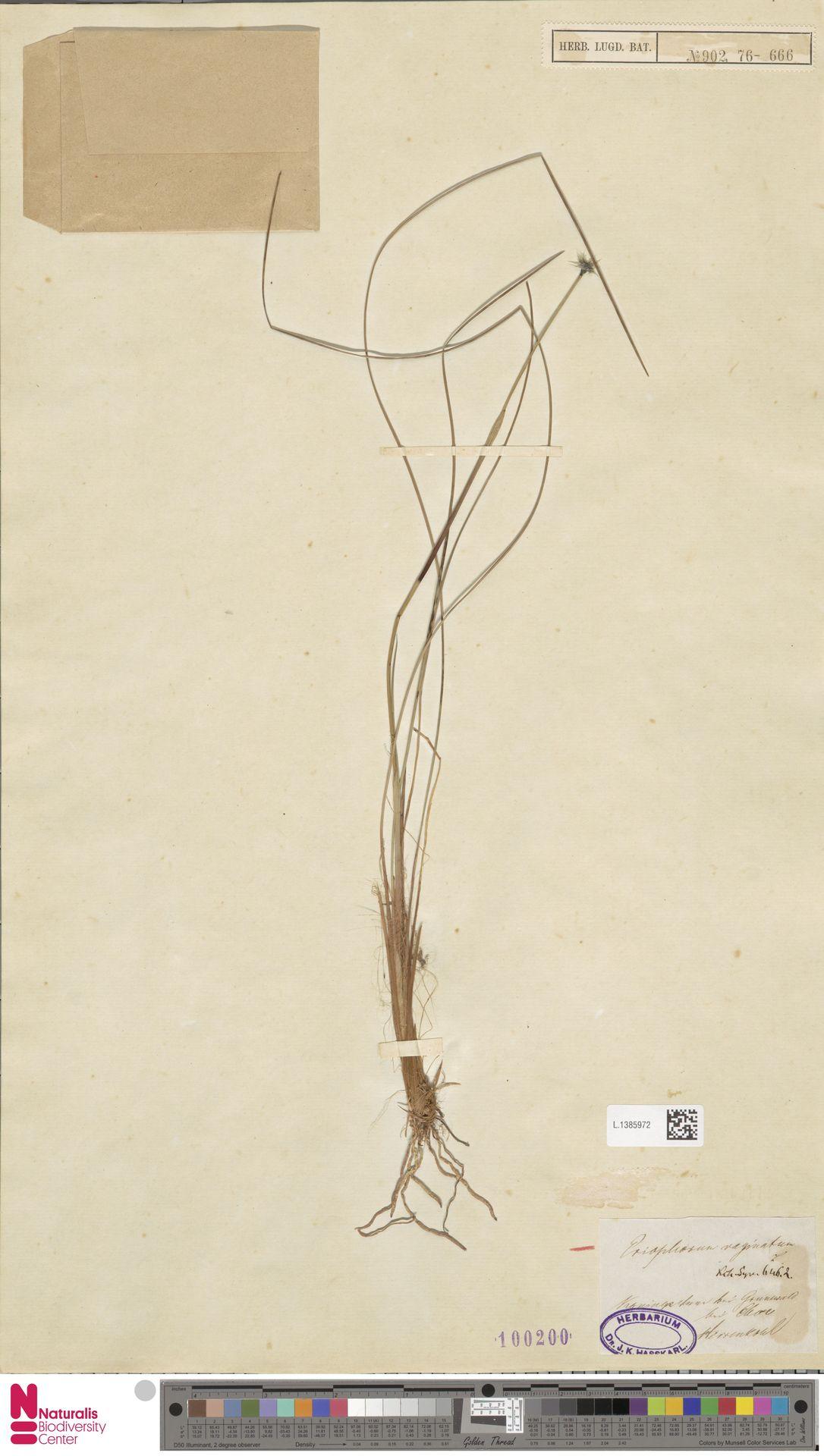 L.1385972   Eriophorum vaginatum L.