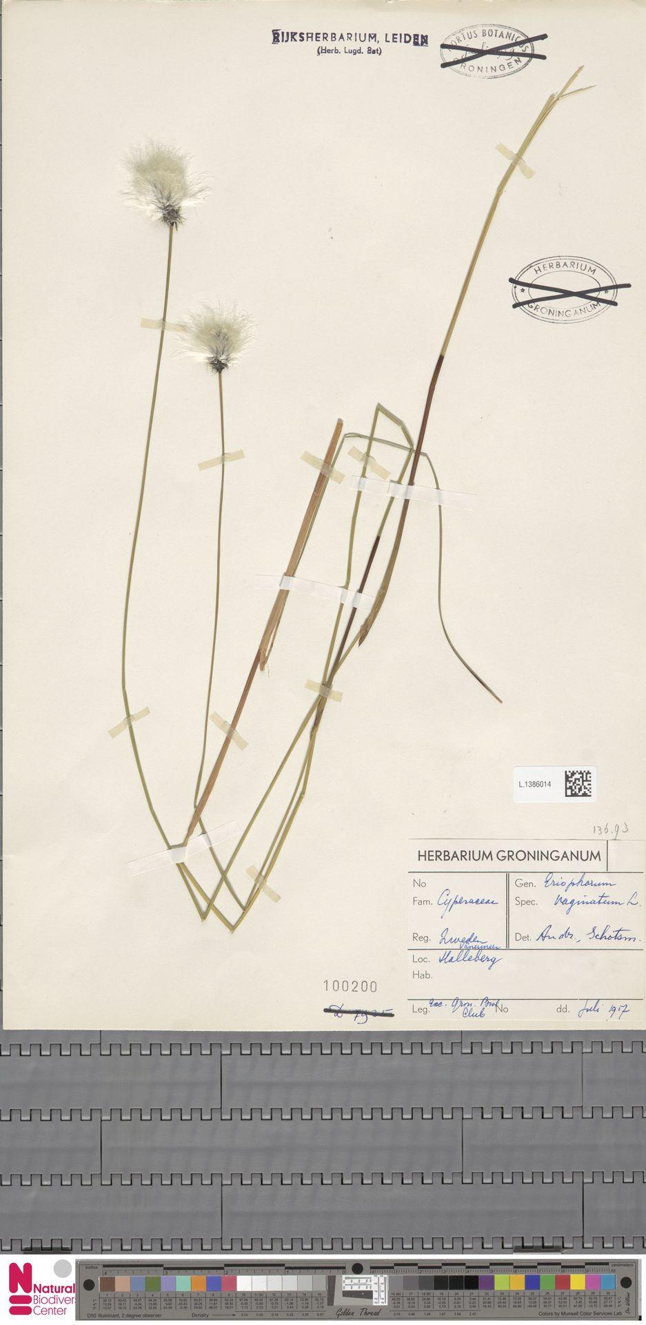 L.1386014   Eriophorum vaginatum L.