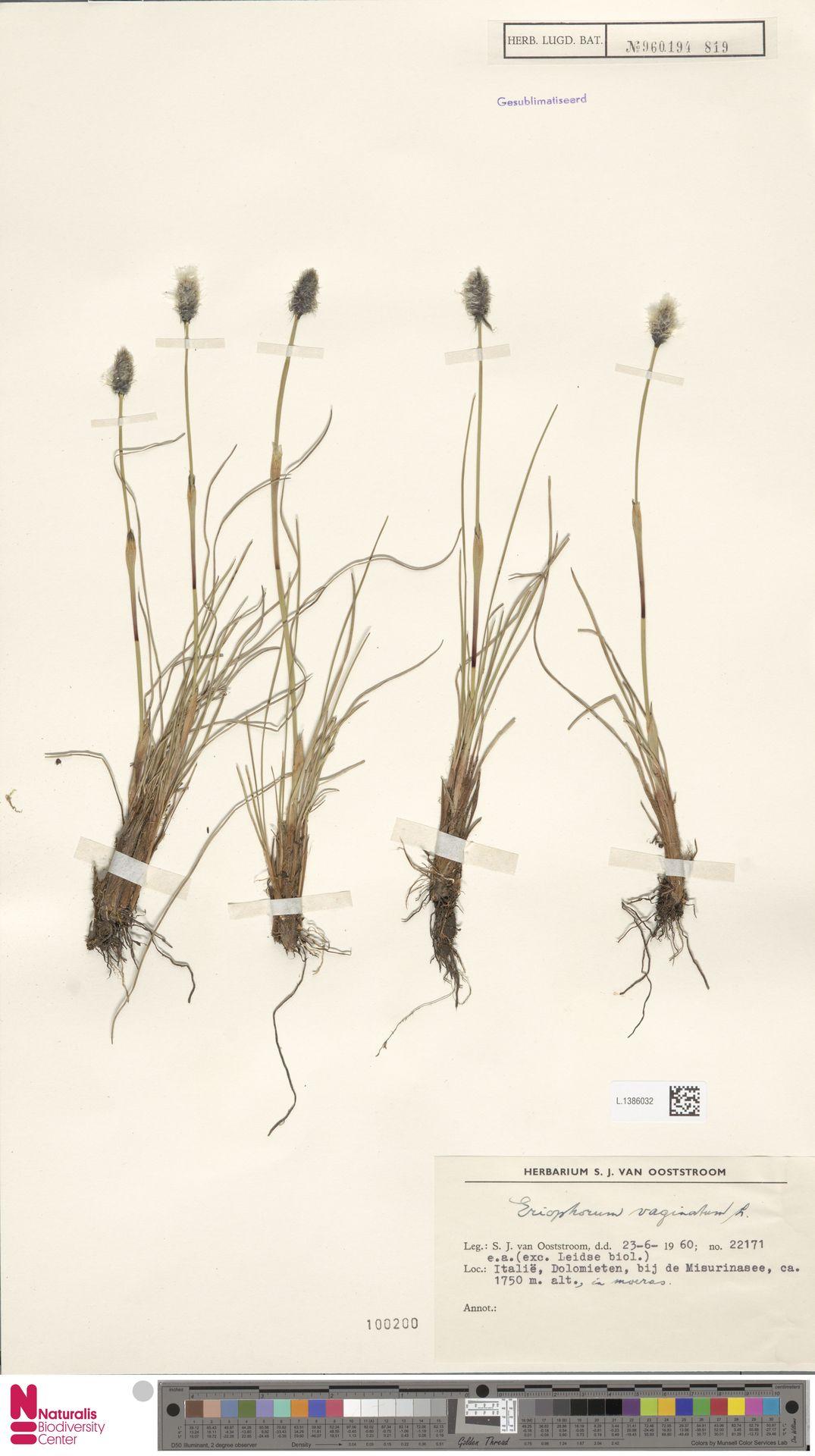 L.1386032 | Eriophorum vaginatum L.