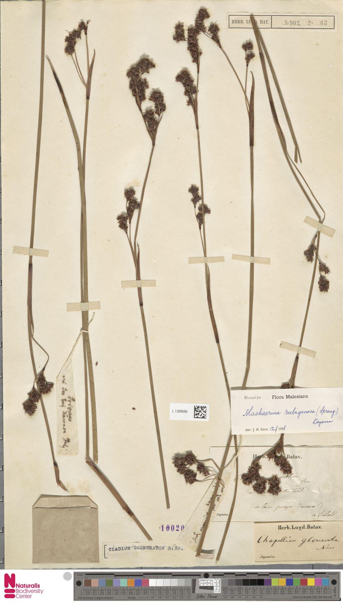 L.1389686 | Machaerina rubiginosa (Spreng.) T.Koyama