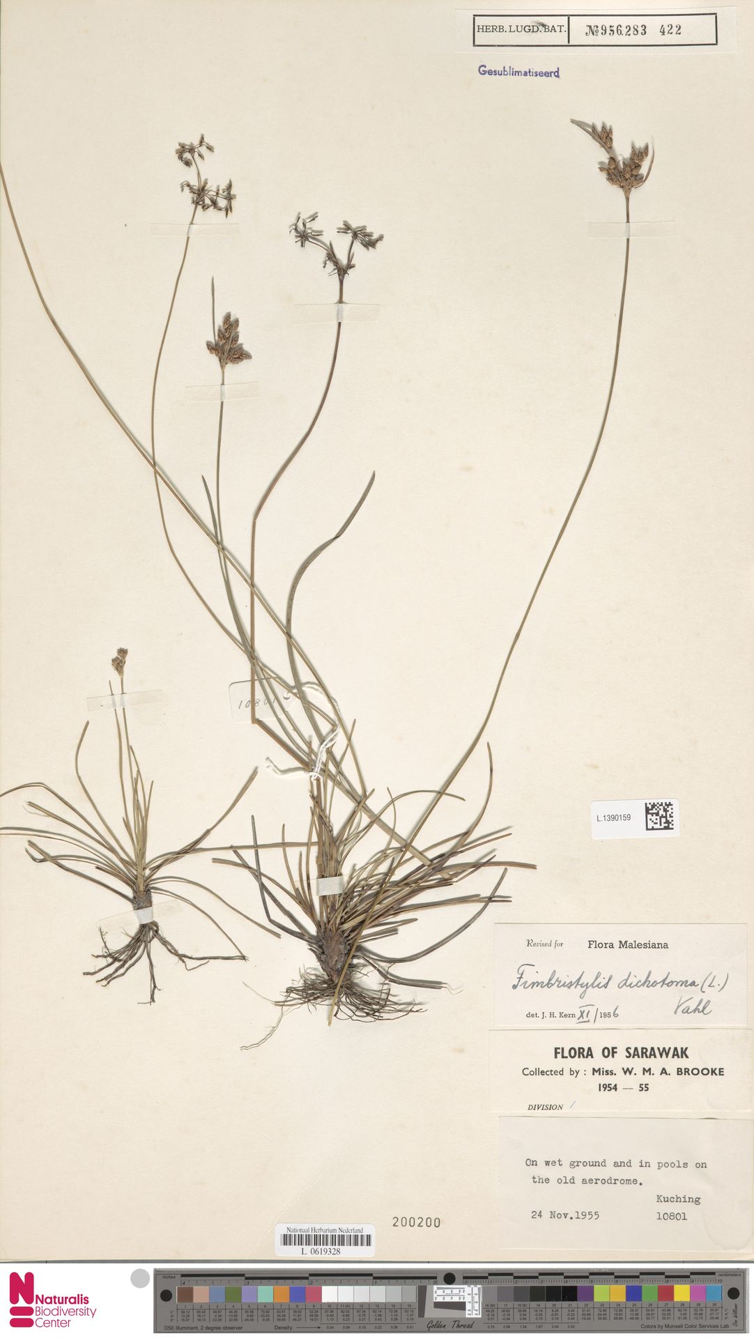 L.1390159   Fimbristylis dichotoma (L.) Vahl