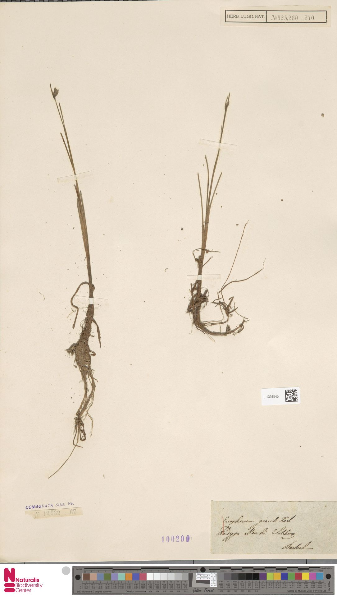 L.1391545 | Eriophorum gracile Koch