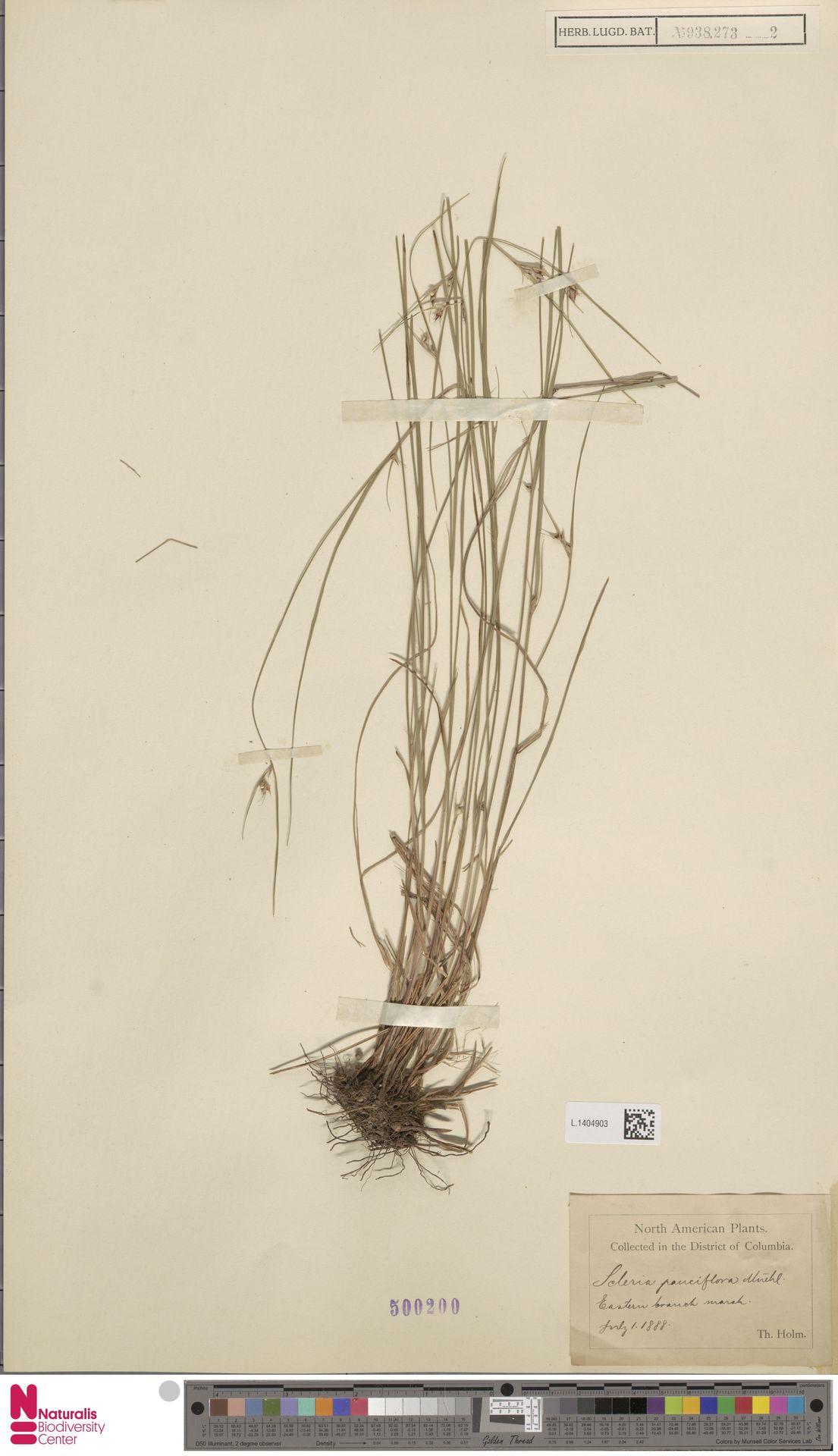 L.1404903 | Scleria pauciflora Muhl. ex Willd.