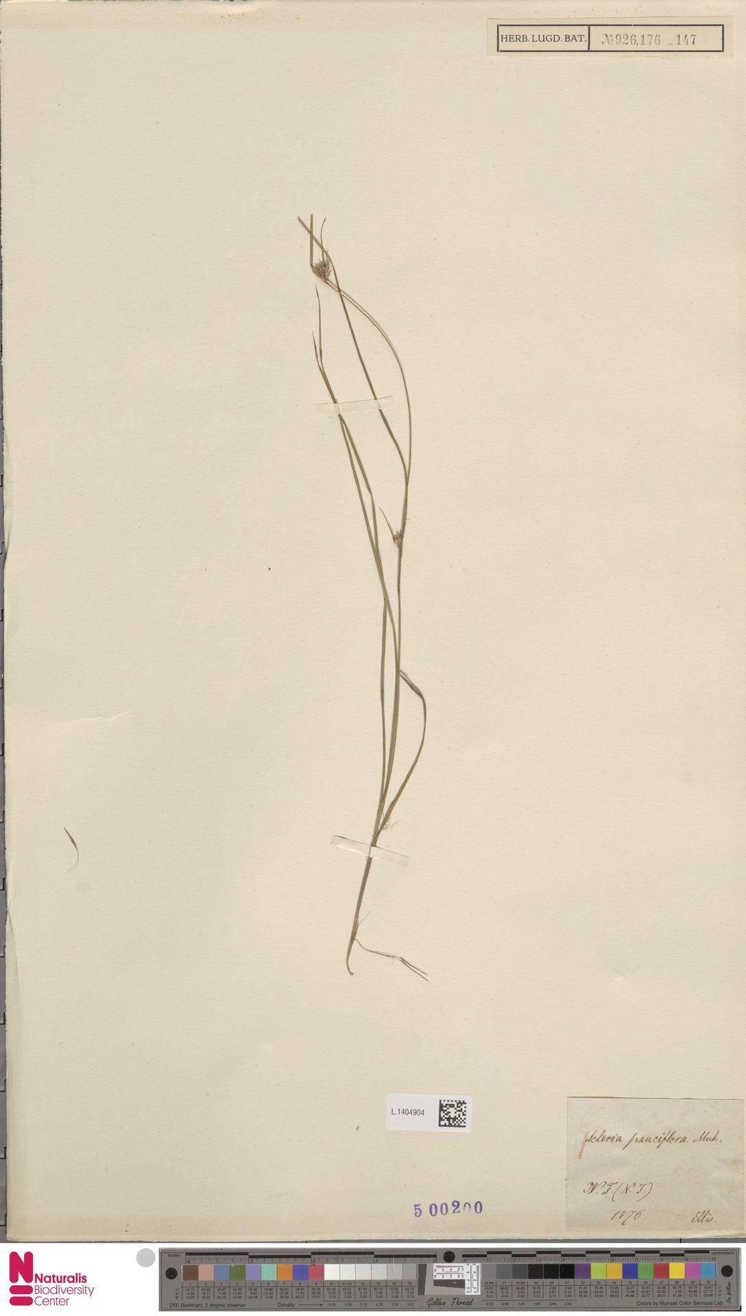 L.1404904 | Scleria pauciflora Muhl. ex Willd.