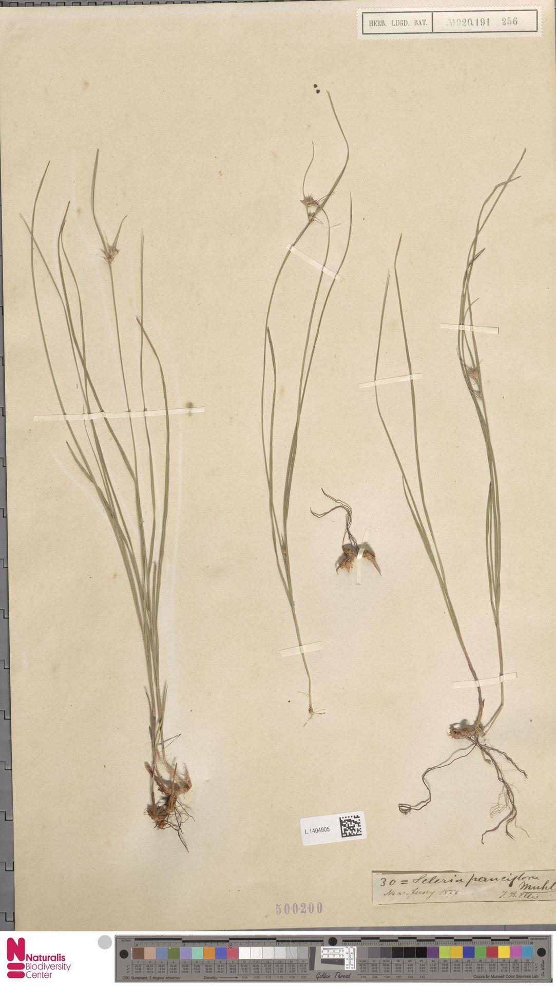 L.1404905 | Scleria pauciflora Muhl. ex Willd.