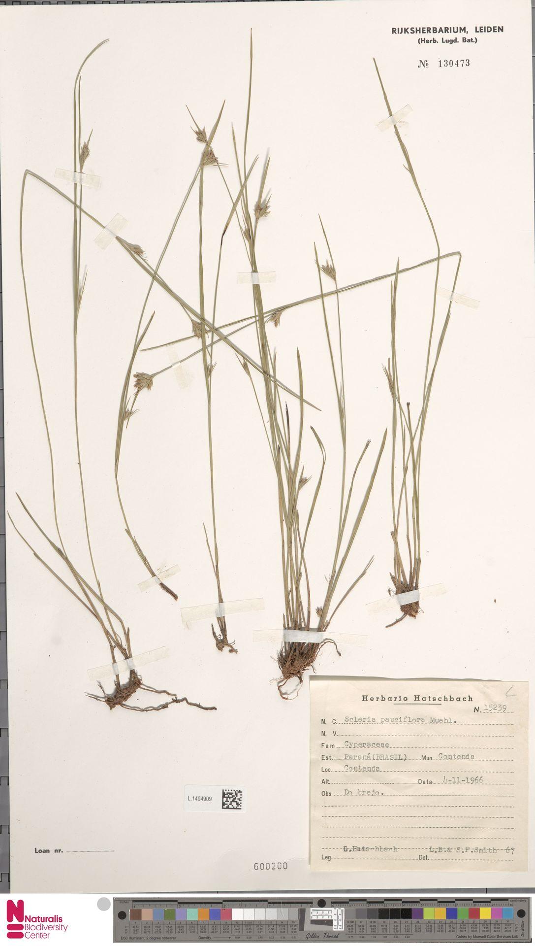 L.1404909 | Scleria pauciflora Muhl. ex Willd.