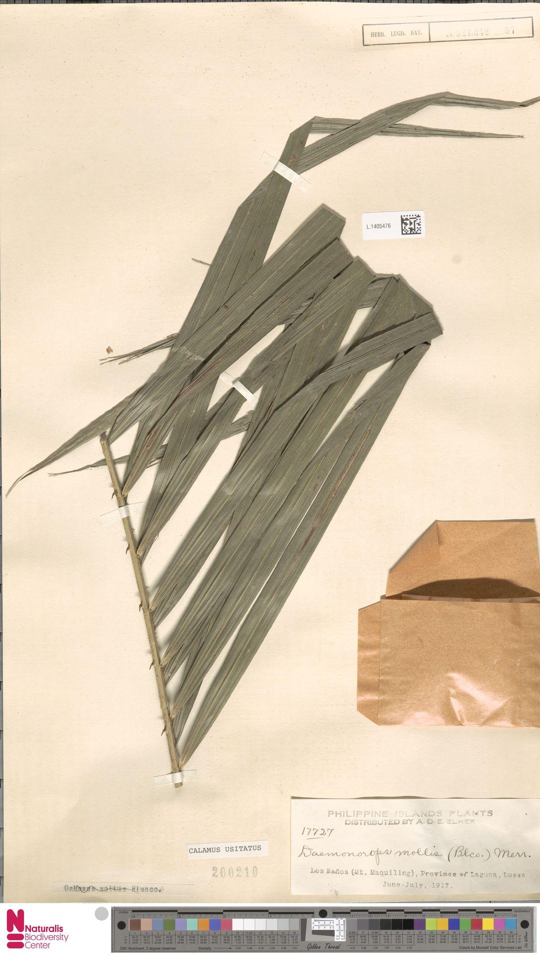 L.1405476 | Calamus usitatus Blanco