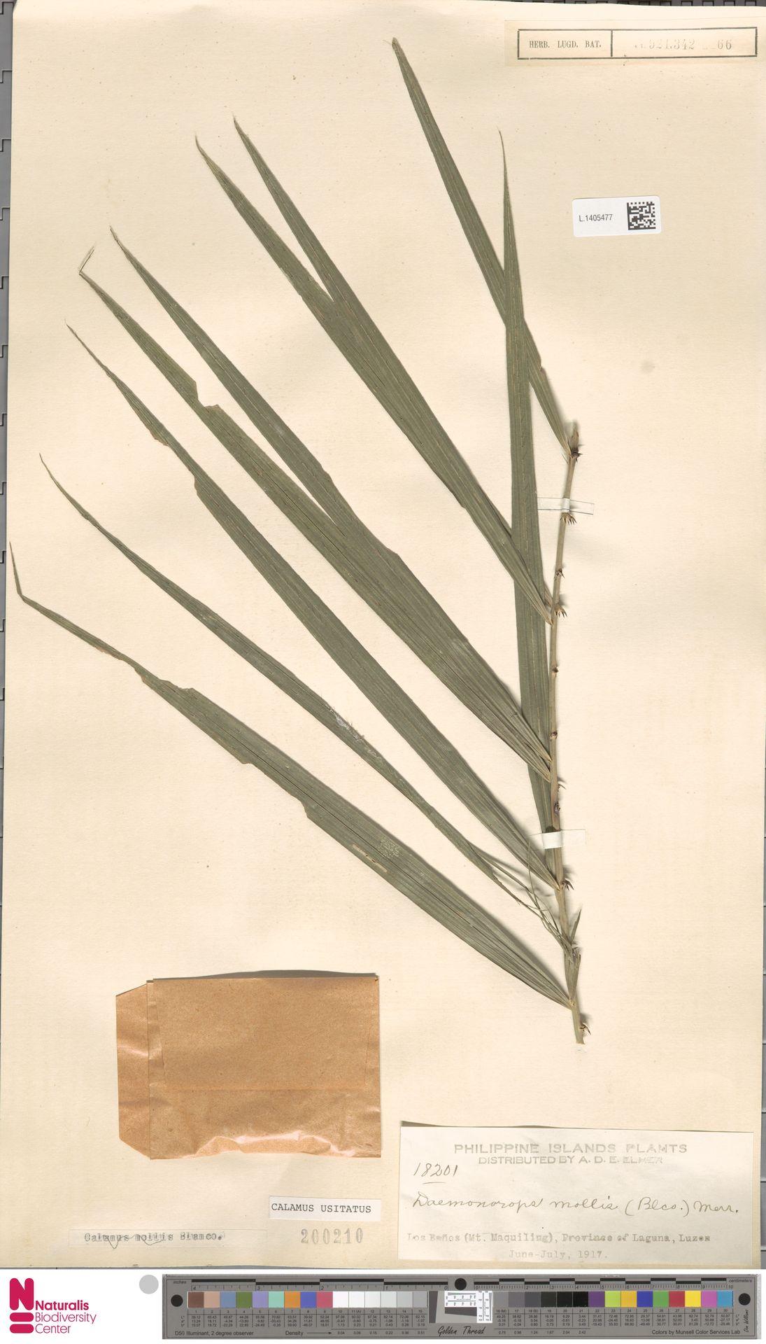 L.1405477 | Calamus usitatus Blanco