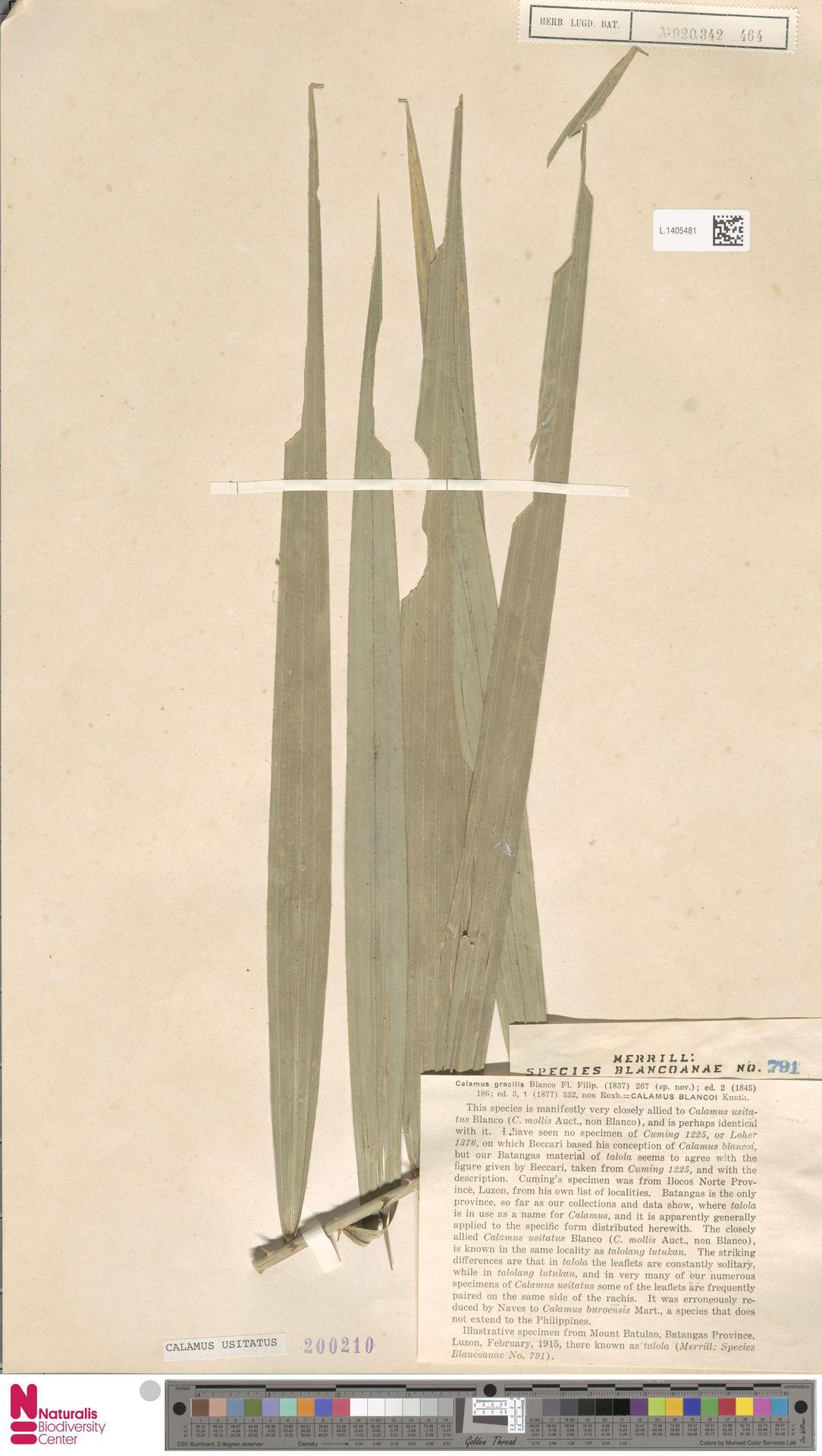L.1405481 | Calamus usitatus Blanco