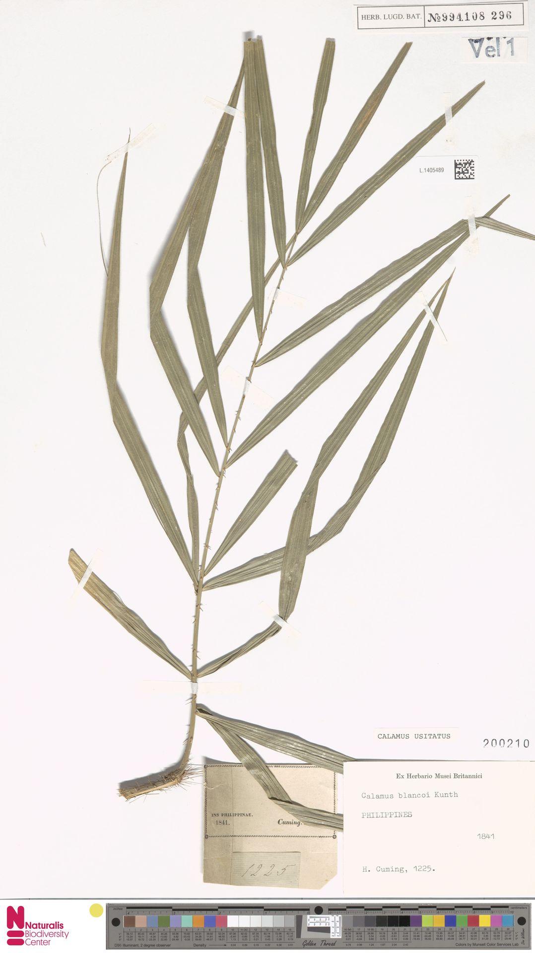 L.1405489 | Calamus usitatus Blanco