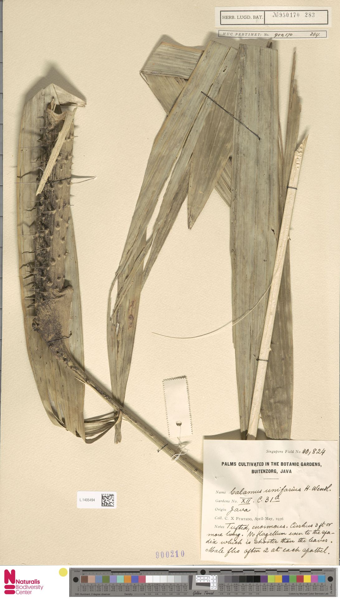 L.1405494 | Calamus unifarius H.Wendl.