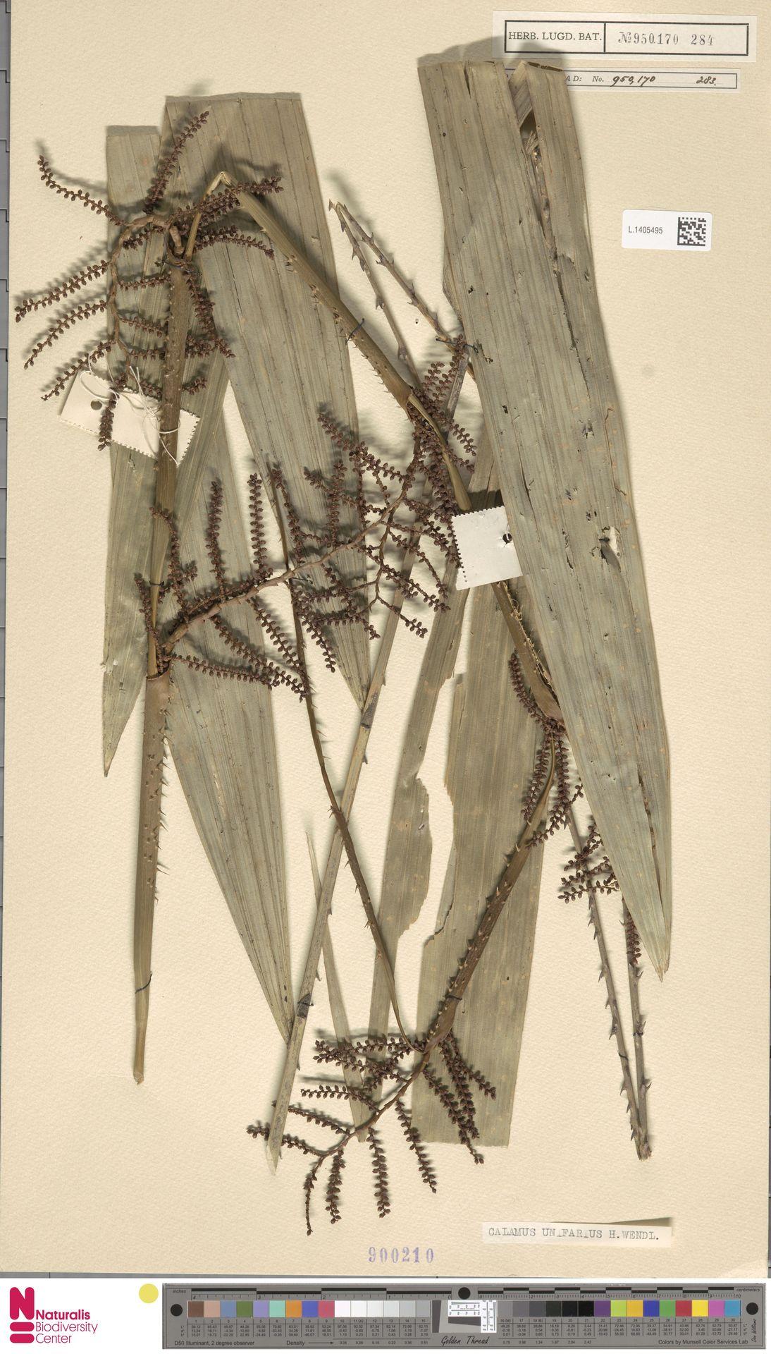 L.1405495 | Calamus unifarius H.Wendl.